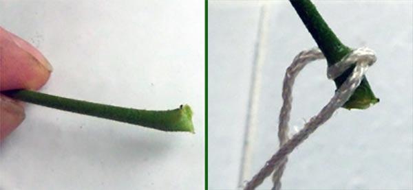 Preparerat bladskaft med veke för bladförökning
