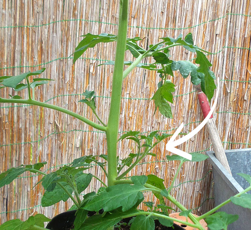 Tomat med sidoskott som blir stickling