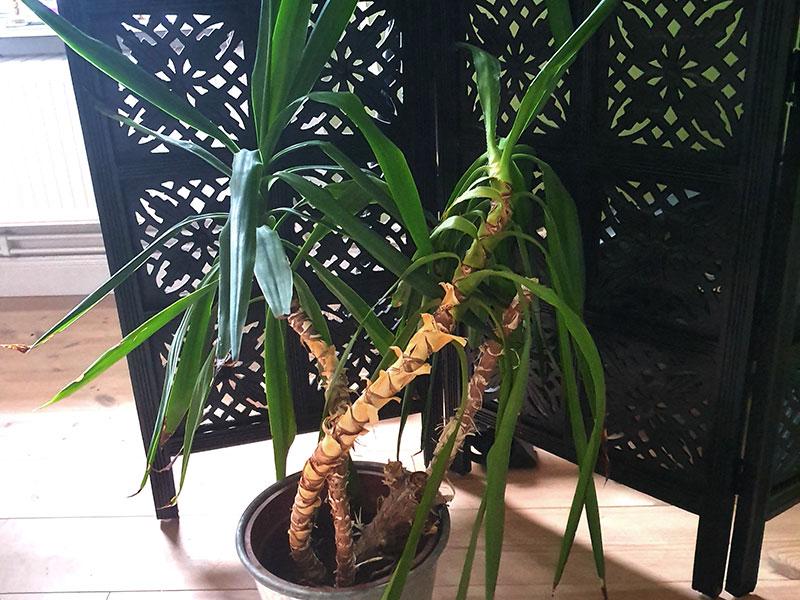 Förvuxen yuccapalm
