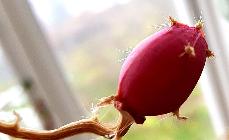 Frukt på bladkaktys, epiphyllum