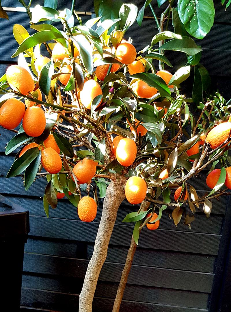 Kumquat, uppstammad med frukter
