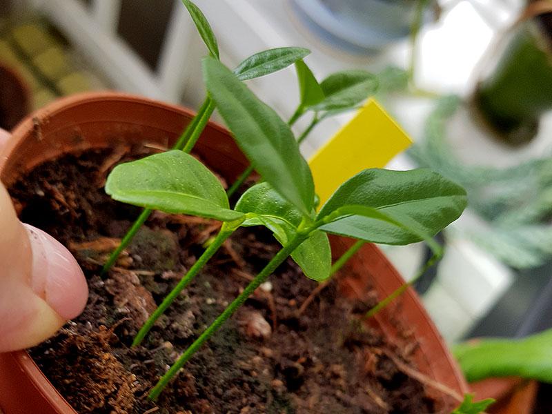 Små plantor av citrus från frö