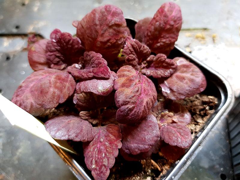 Frosadder av palettblad klara for omplantering