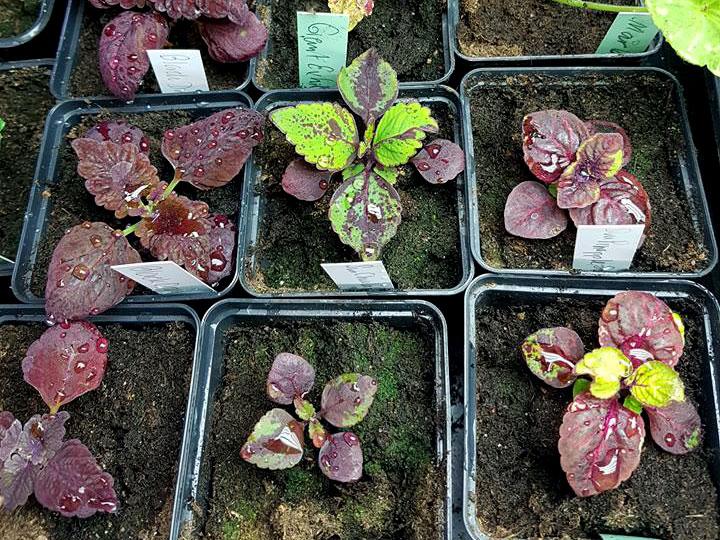 Omplanterade, frösådda Coleus, Palettblad
