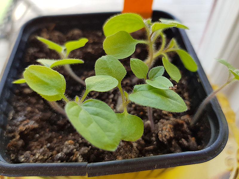 Frösådda småplantor av physalis