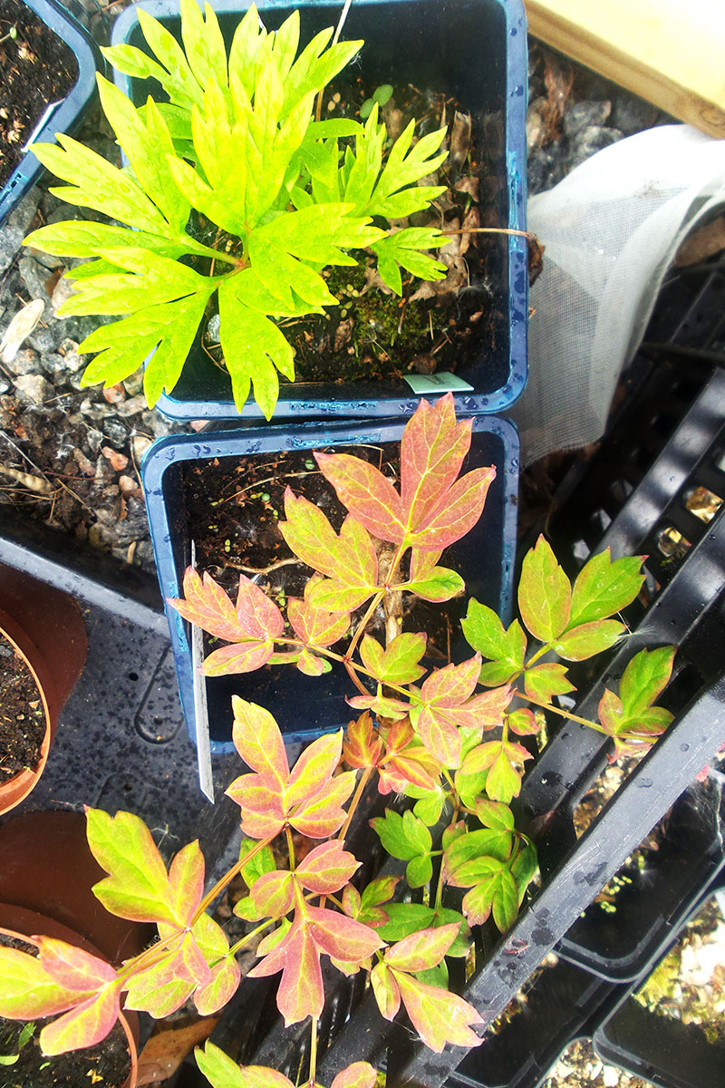 Fröplantor av pion klara för utplantering