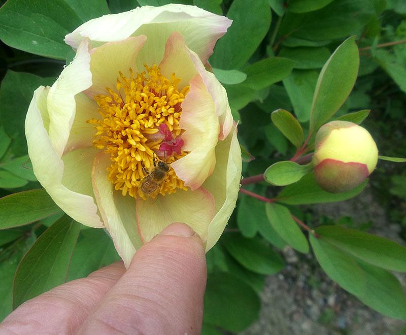 Gul pionblomma pollinerad av ett bi