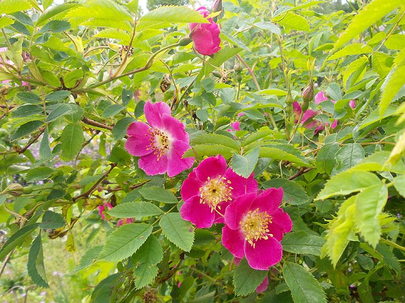 Rosa pendulina, bergsros
