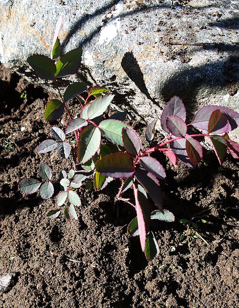 Rosplanta utplanterad frösådd
