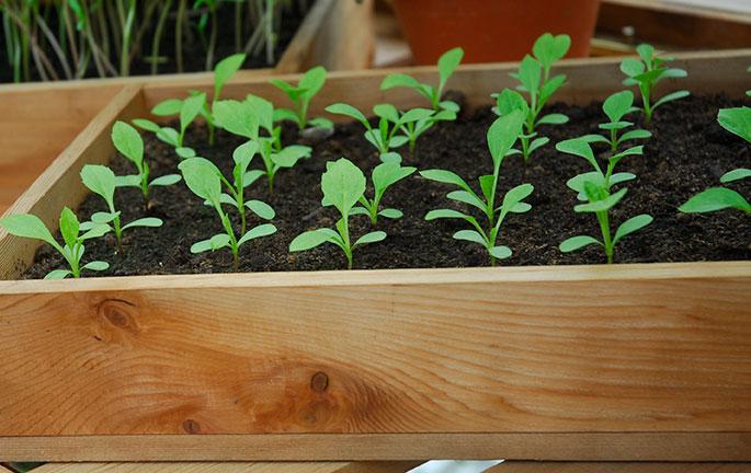 småplantor av tagetes från frösådd