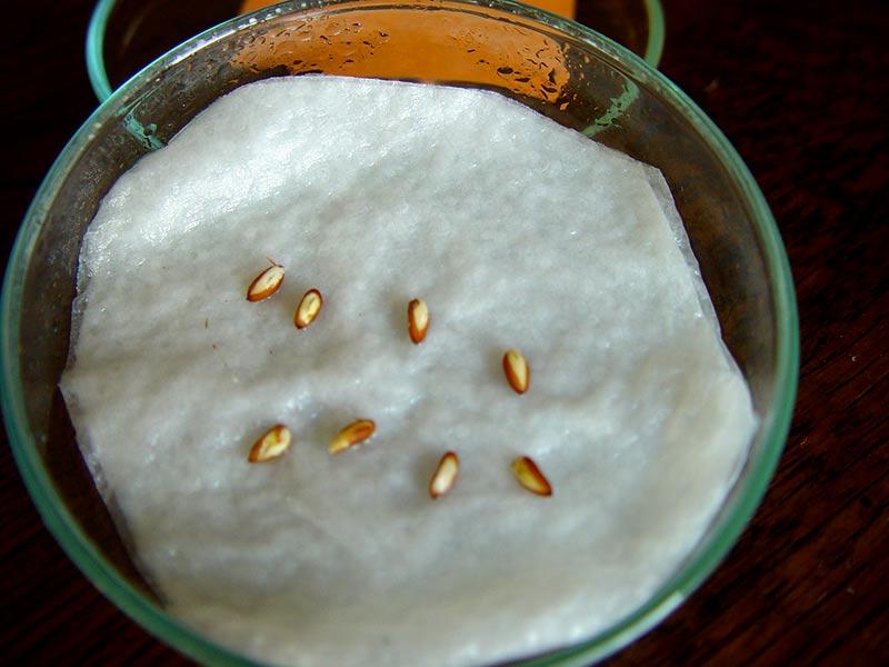Snittade pelargonfröer som börjar öppna upp sig