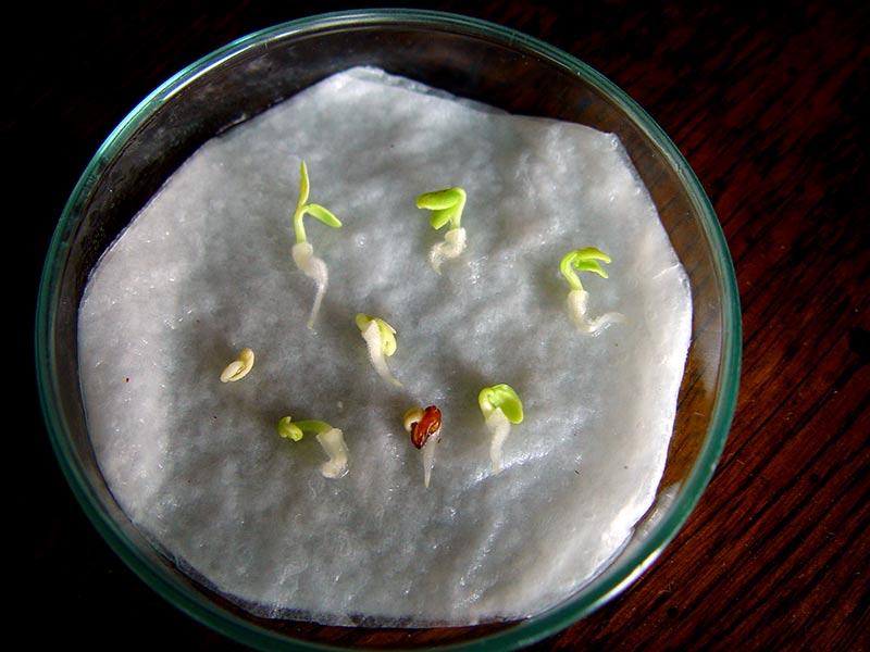 Små nyckläckta pelargonfröer med hjärtblad och liten rottråd