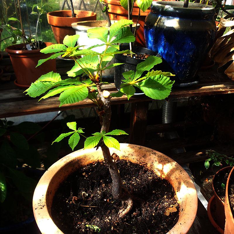 Kastanjeträd från nöt planterad i lerkruka