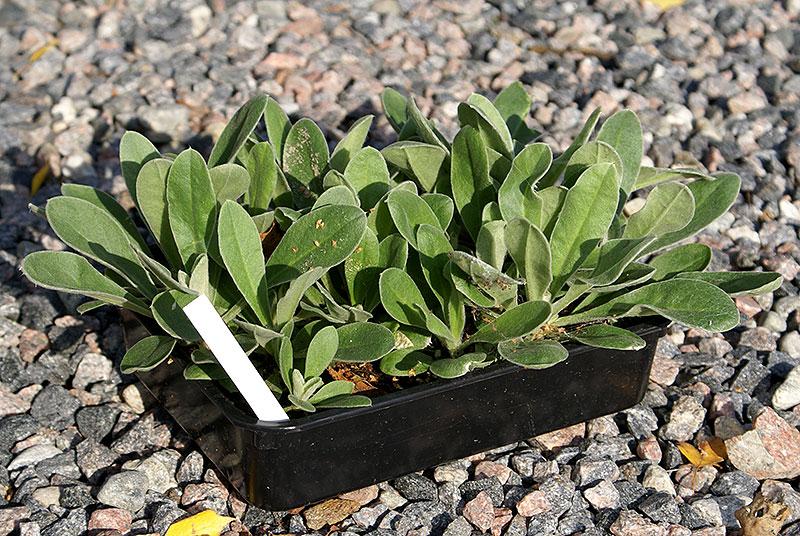 Sålåda med perenner som är bredsådda med många frö i lådan