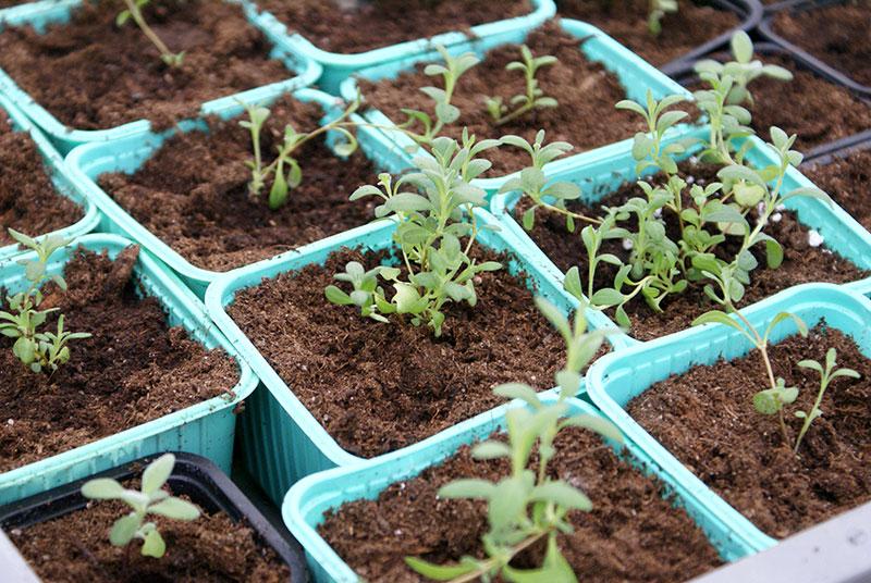 Omplanterade frösådder av lavendel