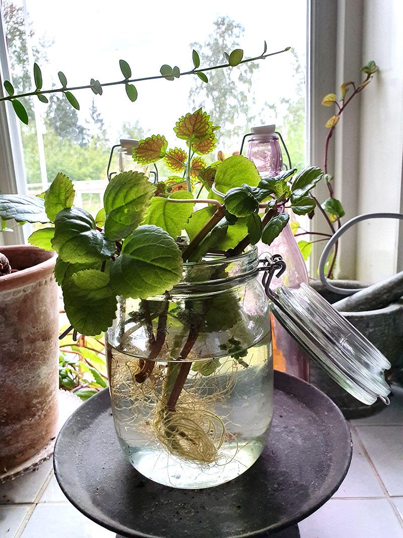 Glasburk med vatten i fönstret med sticklingar som fått rötter