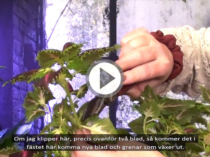 Video som visar hur man tar sticklingar av coleus