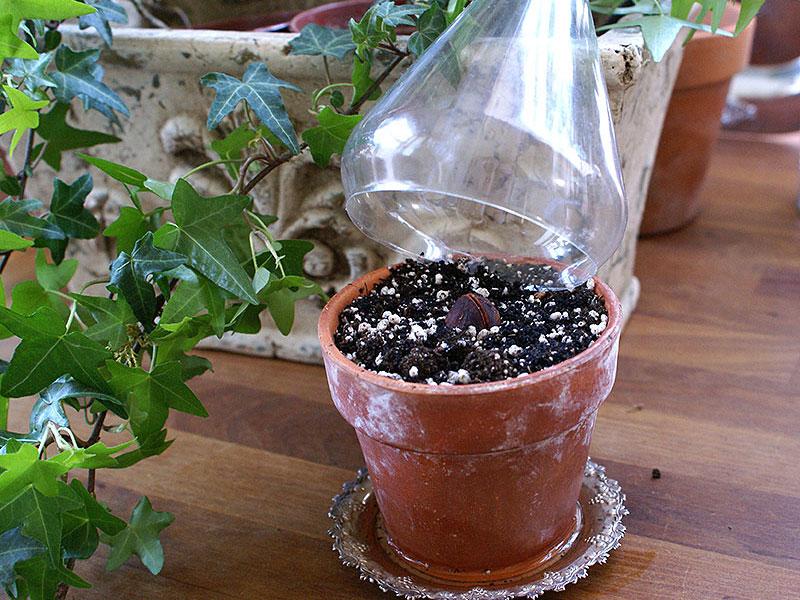 Nyplanterad avokadokärna i miniväxthus av PET-flaska