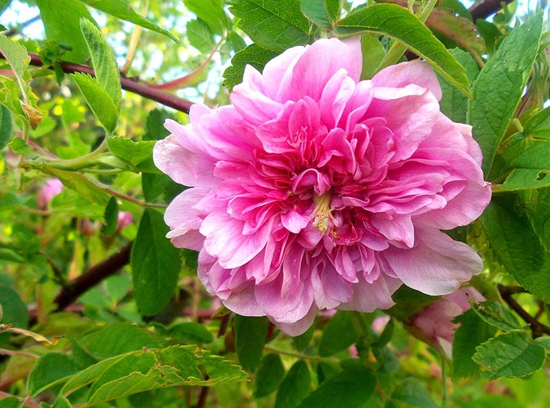Rosa, fylld kanelros