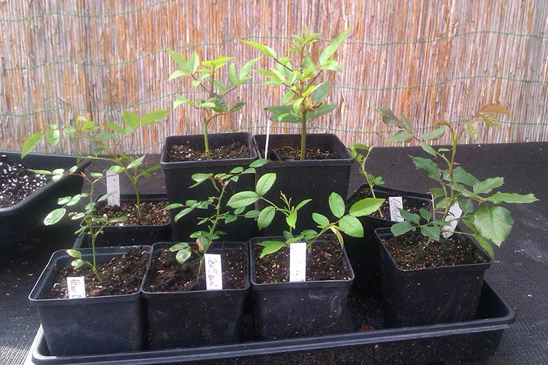 Planterade sticklingar av ros