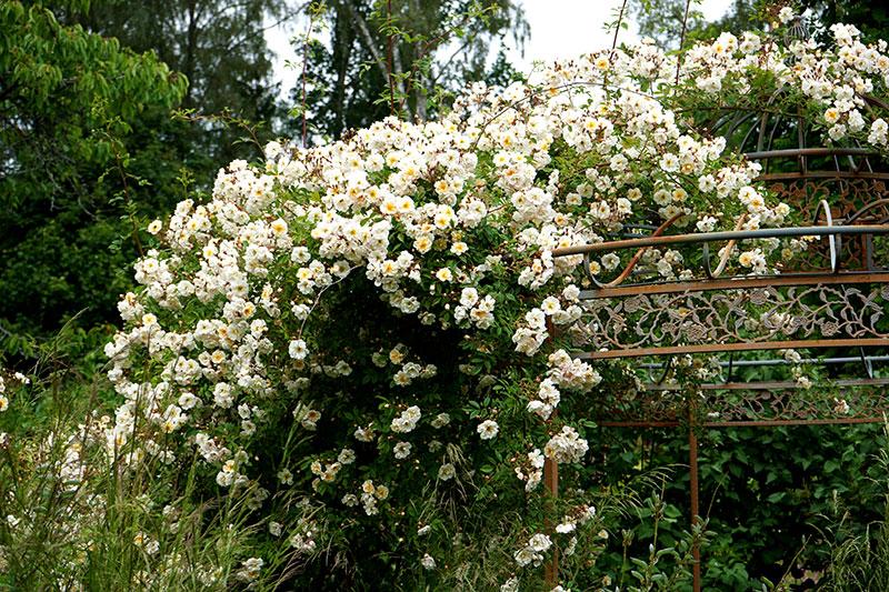 Helenaros Lykkefund klänger över växtportal i trädgården