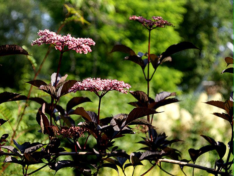 Rödbladig fläder med rosa blommor, Sambucus nigra 'Black Beauty'