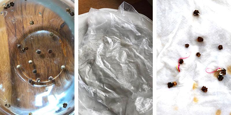groningstest av gamla frön med blötläggning och groning på hushållspapper med grodd