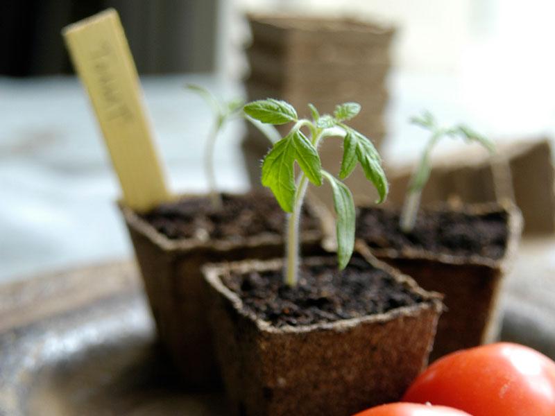 Frösådd tomatplanta