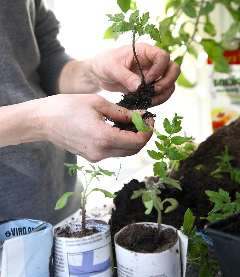 Omplantering av tomatplantor