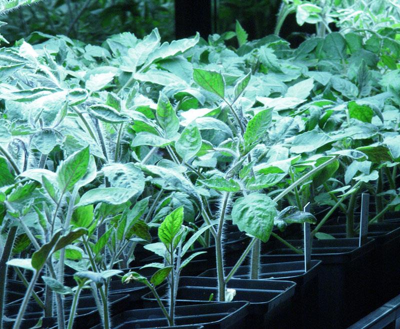 småplantor av tomat med växtlampa