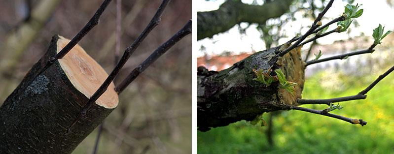 Lyckad barkympning på äppelträd
