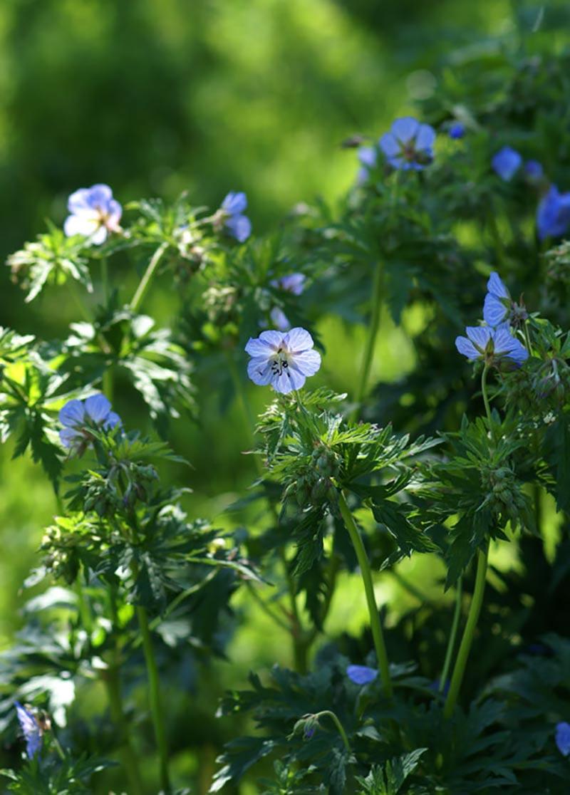 En självsådd näva med vackra blå-vita blommor