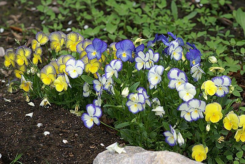 Självsådda violer som har fått olika färgkombinationer