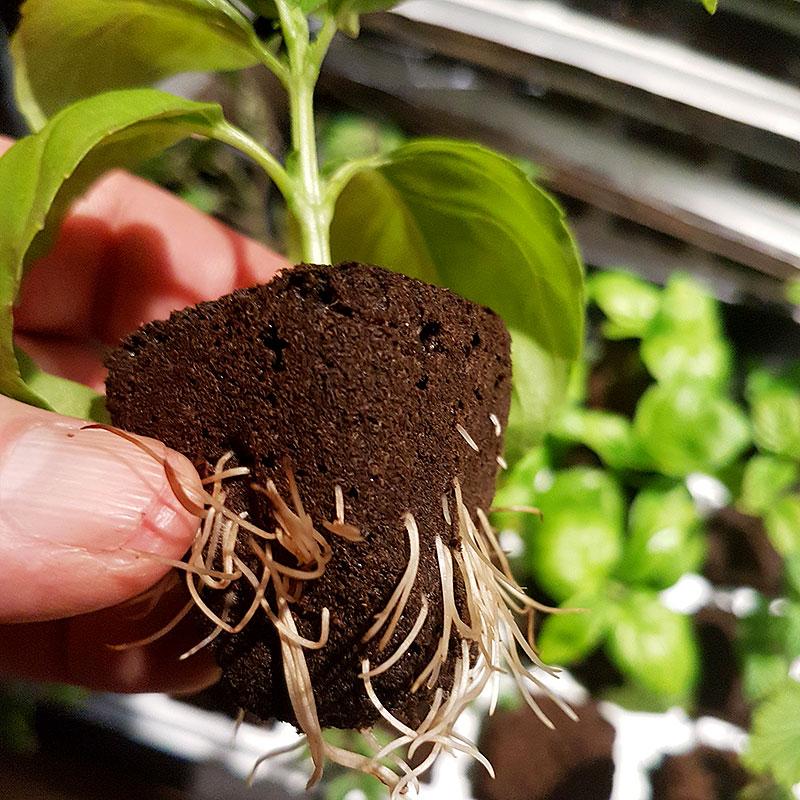 Rotningskuben Root RIot med stickling som fått rötter