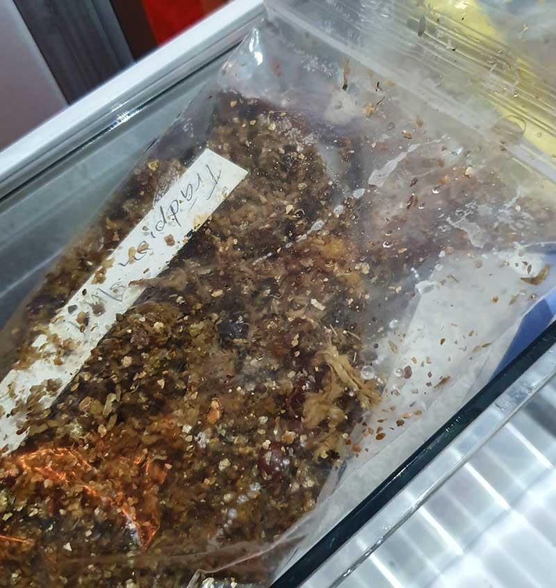 Stratifiering i kylskål med frön av buskpion