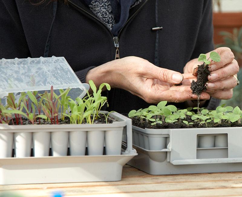 Frösådd och omplantering av sallatsplantor i pluggbox