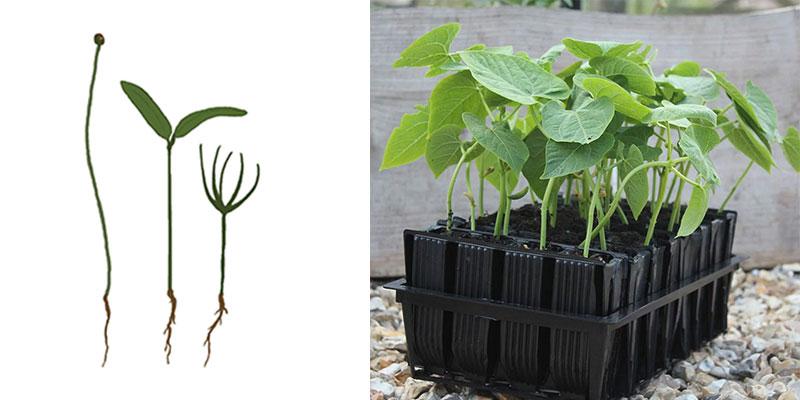 Groddplantor med hjärtblad av lök, kål, tall och rootrainer box med bönplantor