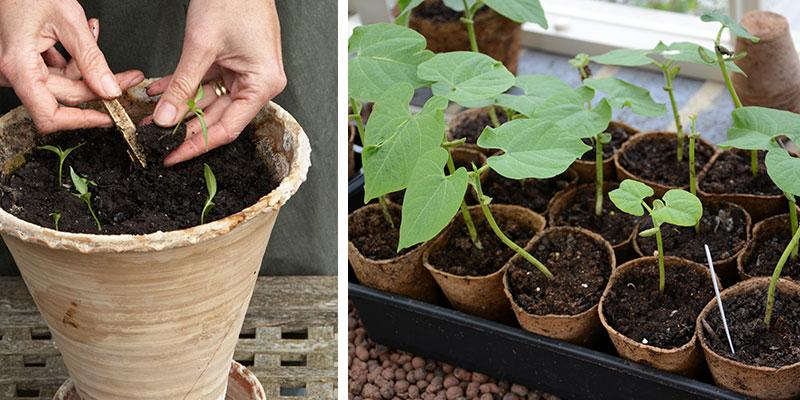 Omplantering av frösådda plantor till stor kruka