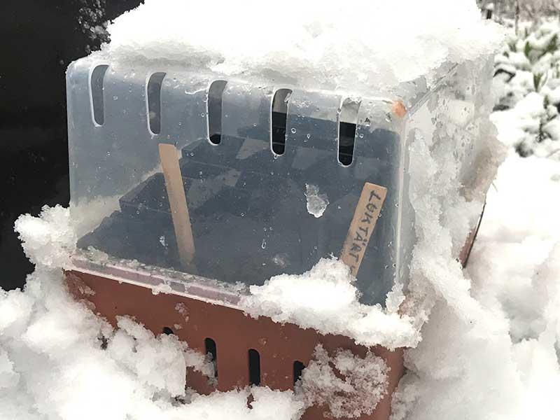 Vintersådd av luktärter utomhus med snö