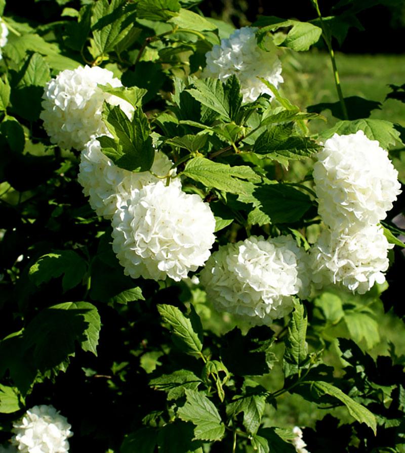 Ikvibm sblbikksbysje Viburnum opulus 'Roseum'