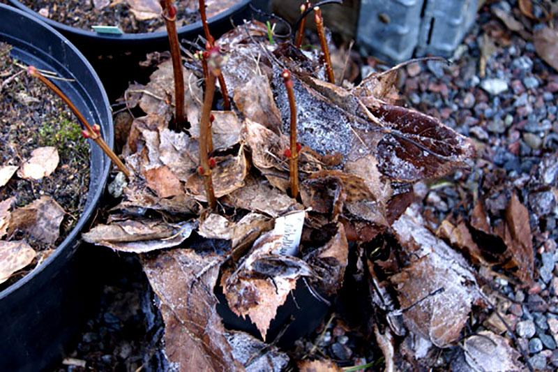 Vinterskydd av sticklingar