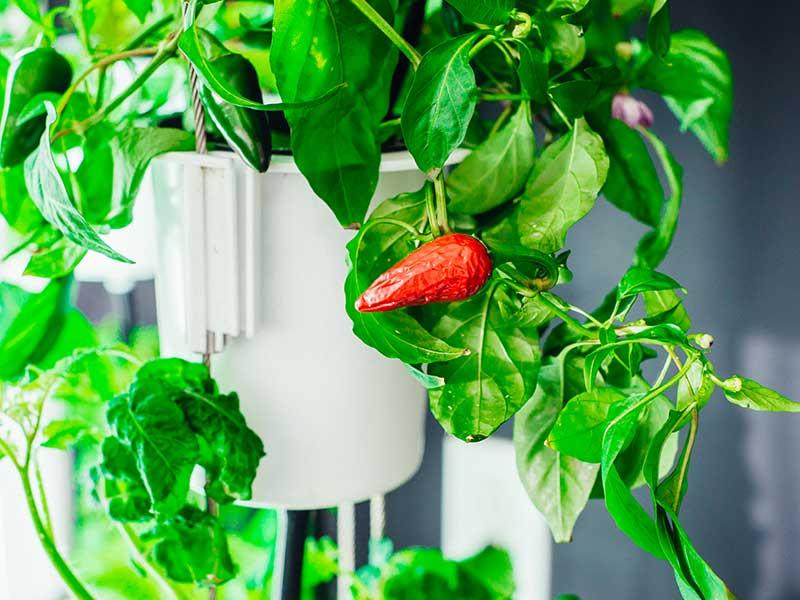Chiliplanta i odlingstorn Nutritower hos Wexthuset