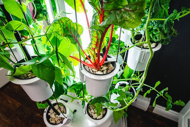Mangold i odlingstorn Nutritower hos Wexthuset