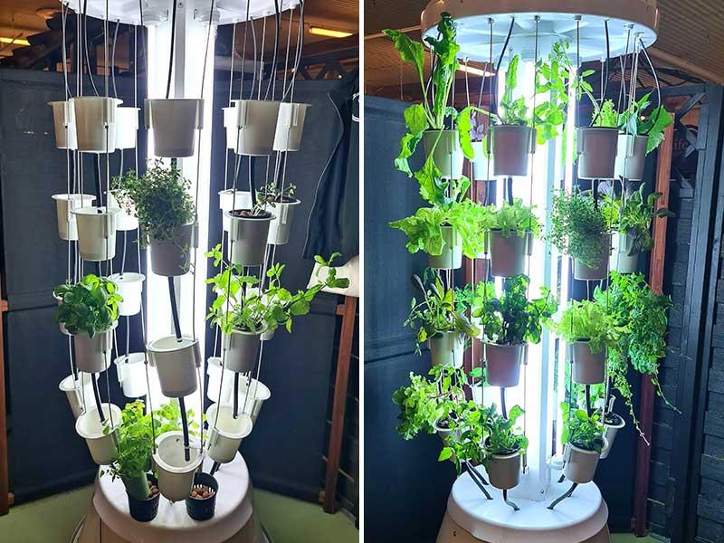 Odling I Nutritower odlingstorn två veckor före och efter plantering