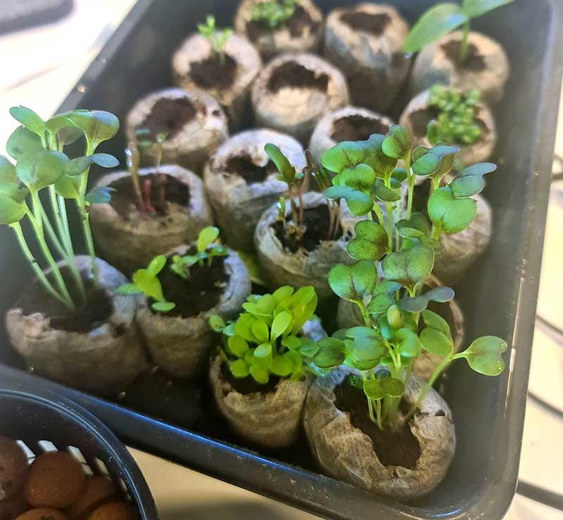 Småplantor för odling i Nutritower hos Wexthuset