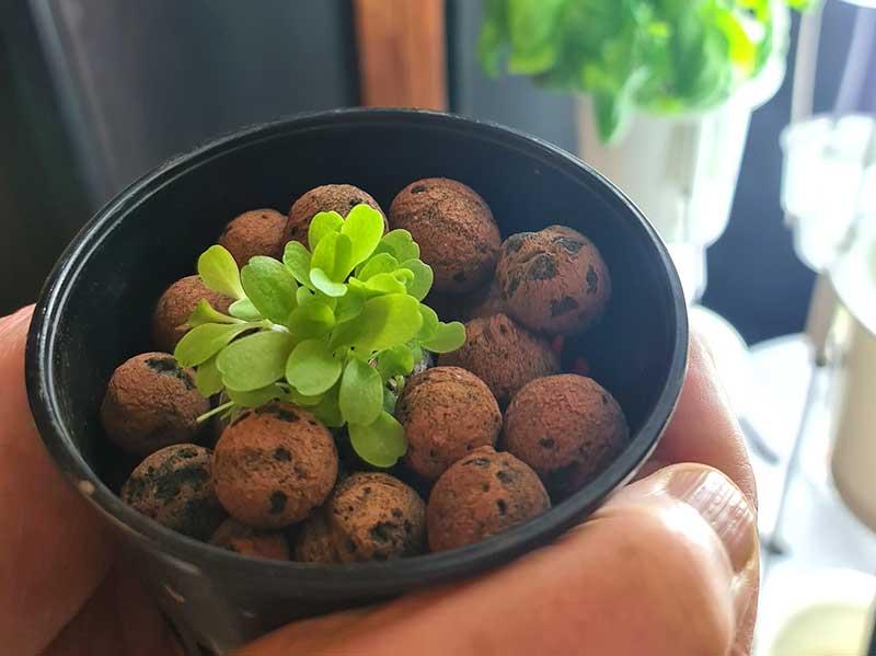 Sallatspalnta odlad i lecakulor för hydrokultur Nutritower