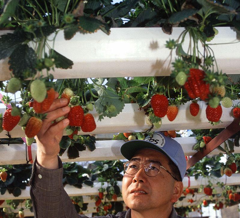 Odling av jordgubbar i hydrokultur