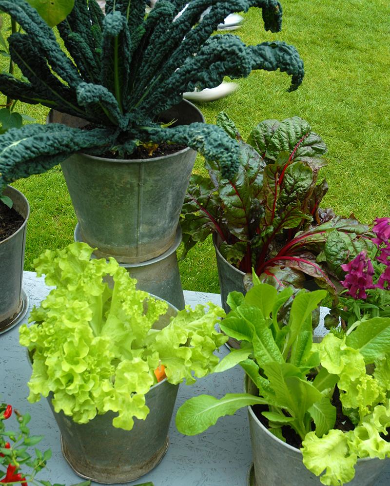 Köksväxter odlade i kruka