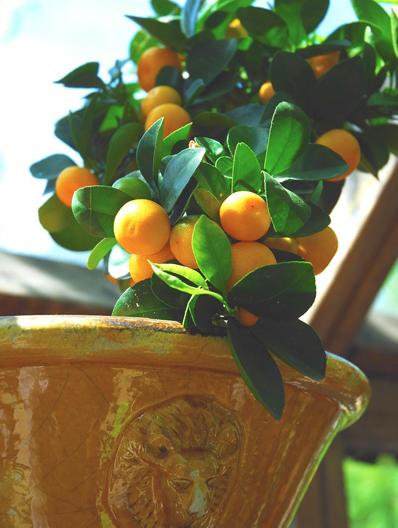 citrusplanta i kruka