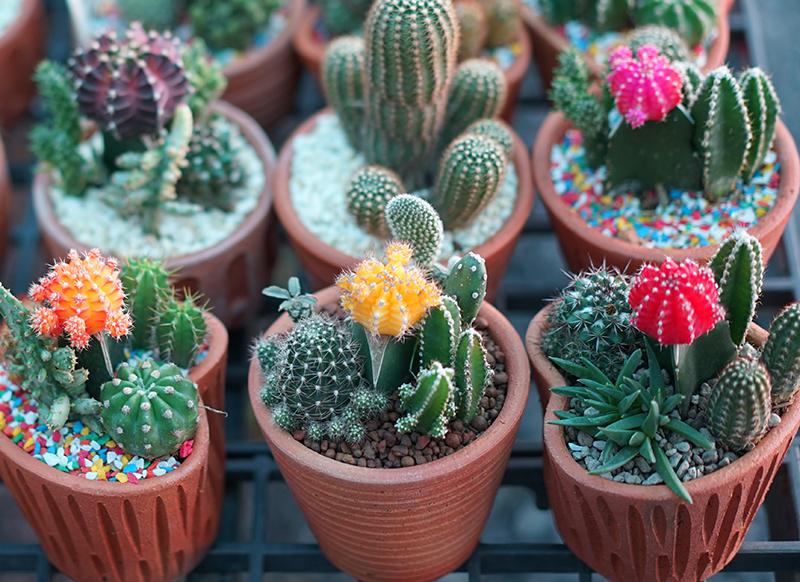 Kaktusar planterade i kruka i kaktusjord